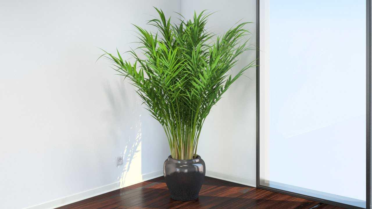 komnatnaya-palma-foto-video-vidy-palm-nazvanie-i-opisanie-rasteniya-11