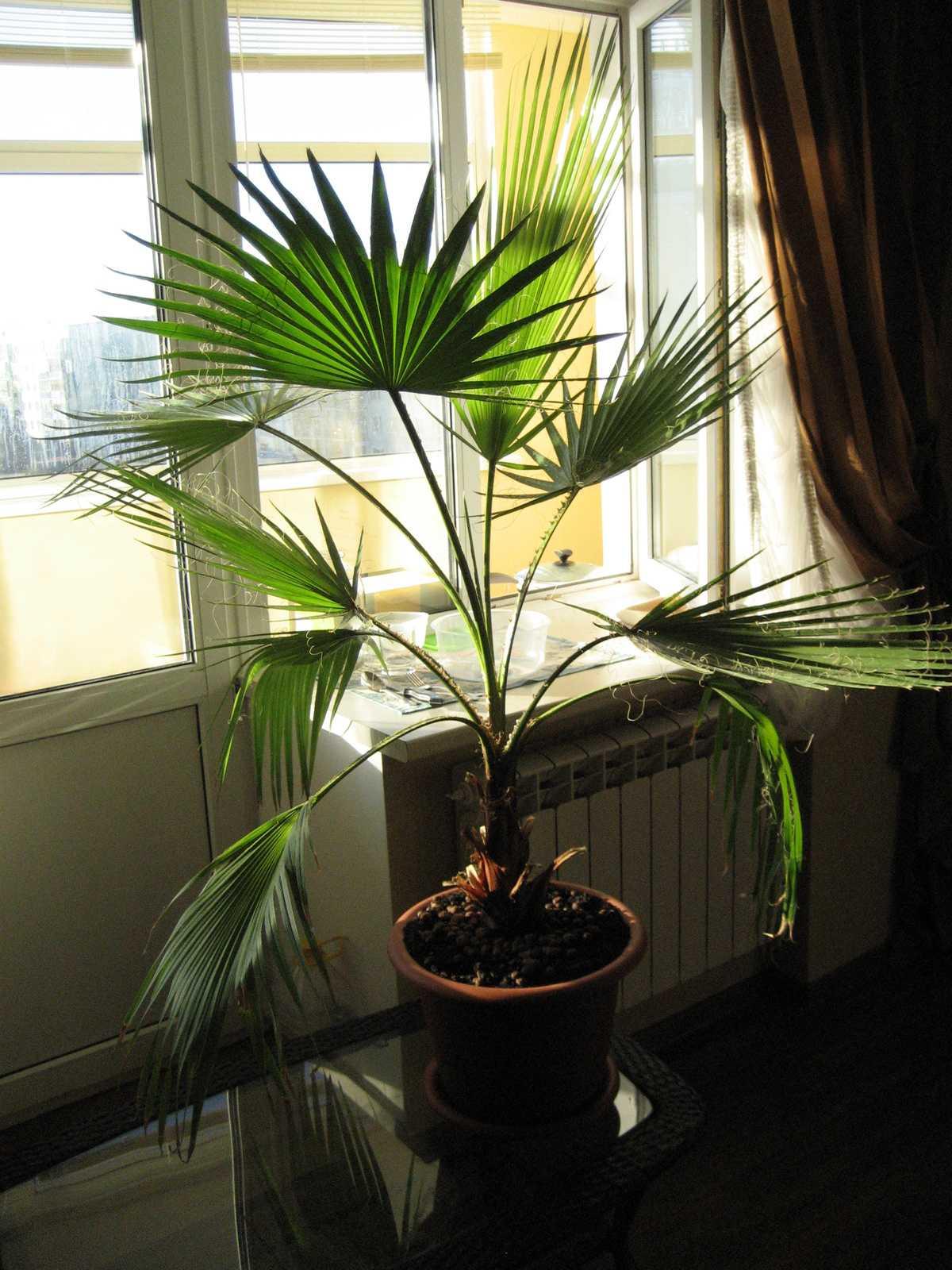 komnatnaya-palma-foto-video-vidy-palm-nazvanie-i-opisanie-rasteniya-29