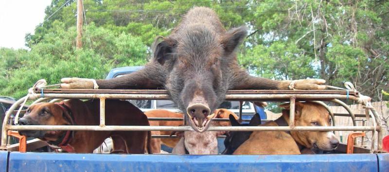 Boar Hunting Hawaii Ranch