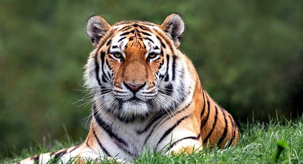 Het proces van paring amur tijger