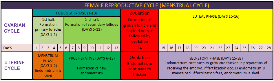 Menstrual Cycle & The Female Reproductive System