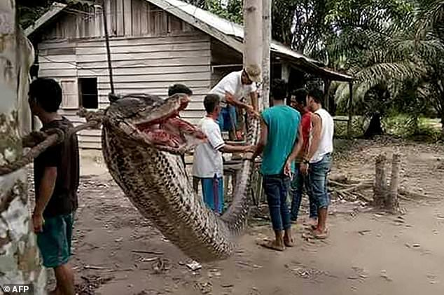 Giant python attacks Indonesian man before being eaten ...