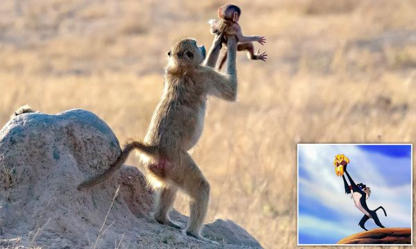 lion king battle cry # 54