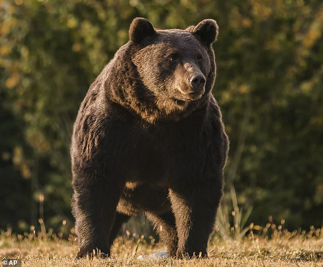 Austrian prince is investigated over claims he 'illegally' shot dead the 'largest' brown bear in Romania after paying £6,000 during a trophy hunt in the Carpathian Mountains