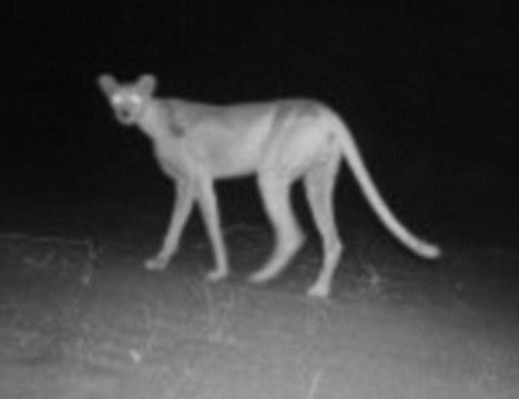 Rare Saharan cheetah photographed in the Niger desert ...