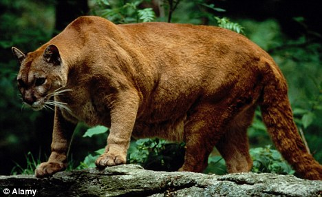 Eastern cougar finally declared extinct... at least 80 ...