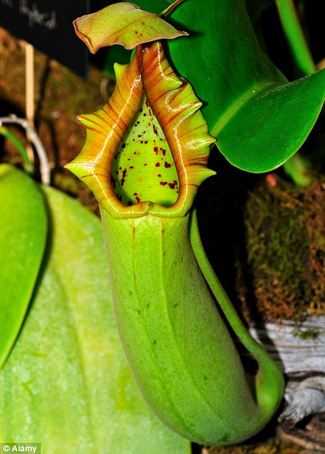 Rat-eating plant declared a new species seven years after ...