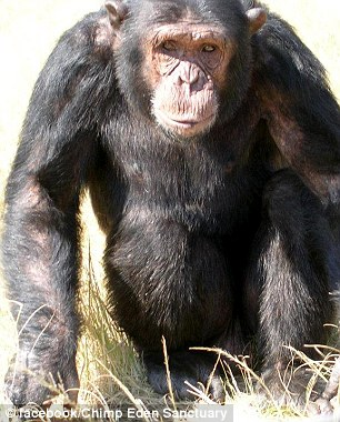 Andrew Oberle: Chimp-attack student is so badly mauled his ...