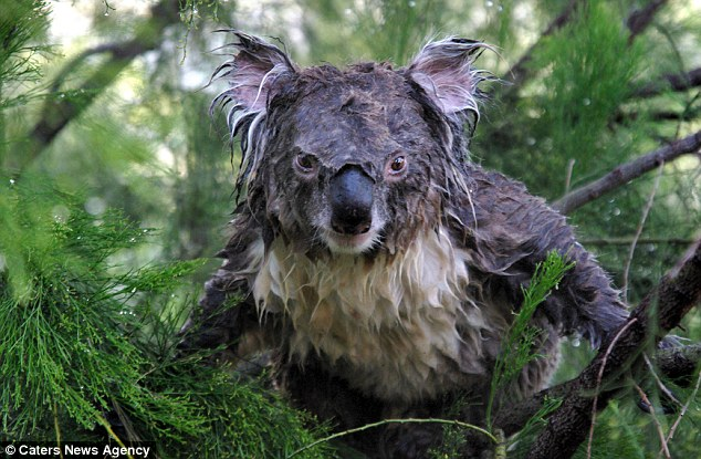 Wake up on the wrong side of the bed? Dozy koala looks far ...