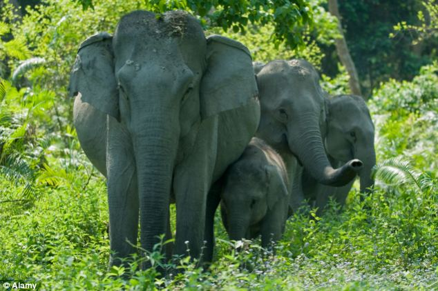 Elephant Tramples Couple To Death In India Daily Mail Online