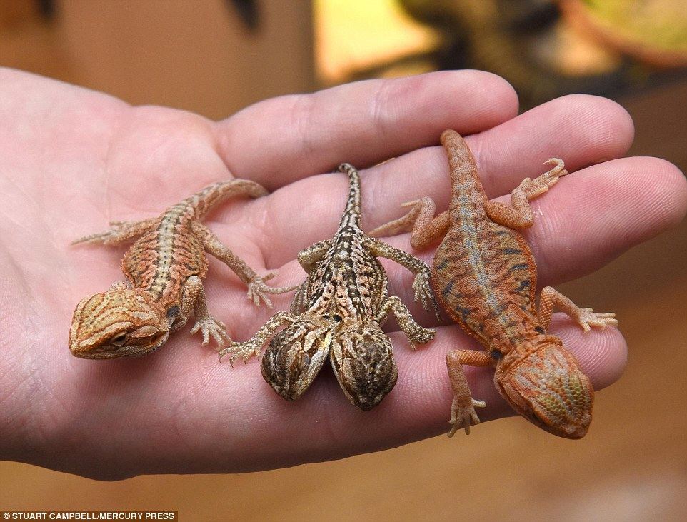 Rare 2-headed leatherback lizard hatches at Birkenhead ...