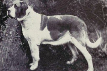 Pictures that show how 100 years of breeding has changed dog breeds     The original Saint Bernard  pictured  are most likely decedents of the  mastiff style Asiatic