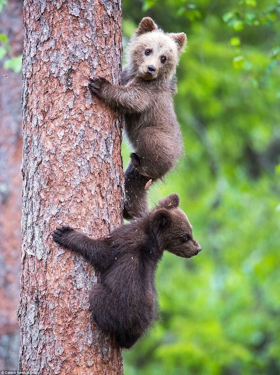 bear wrongs patiently pictures - HD962×1289