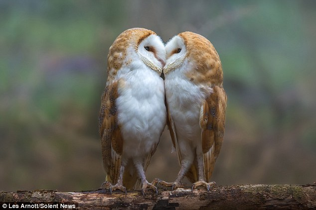 Sisterly display of affection as barn owls are caught on ...
