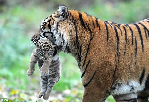 Sumatran Tiger Life Cycle
