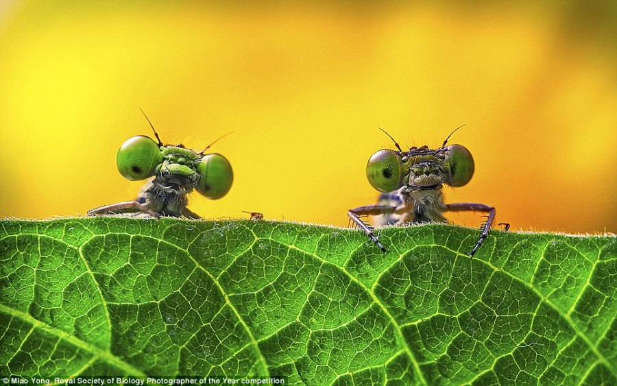 Royal Society of Biology photographer of the year entries   Daily     Two big eyed damselflies struck a pose for Miao Yong while she was taking  photographs