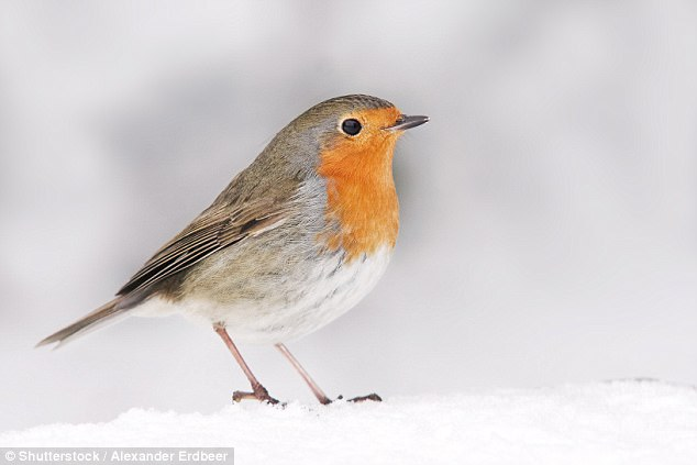 The not so cuddly truth about the robin redbreast | Daily ...