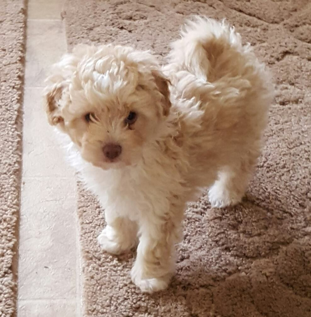 Toy Shih Tzu Dachshund Puppies