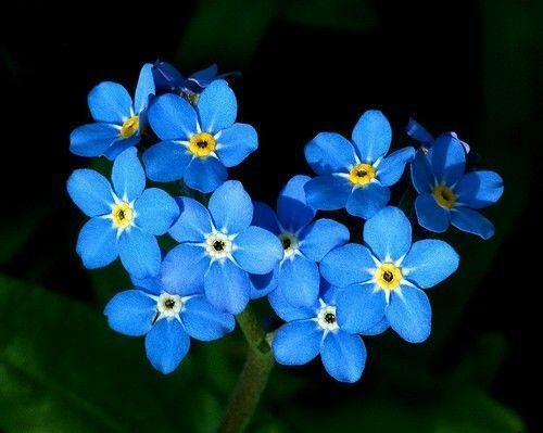Forget Me not Seeds   eBay