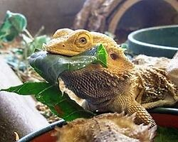 Bearded Dragon, lizard mix 10g- Grow your own food all ...