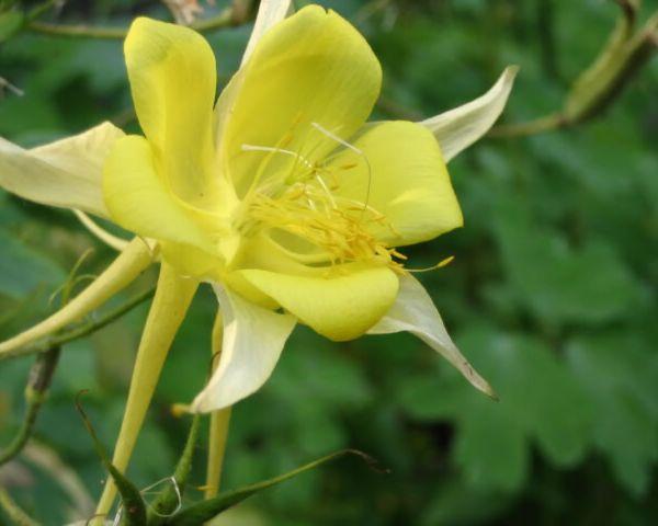 50 Yellow Columbine Aquilegia Flower Seeds Gift & Combs/h ...