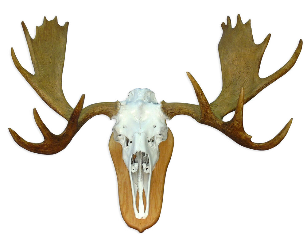 European Mount Deer Skull Plate