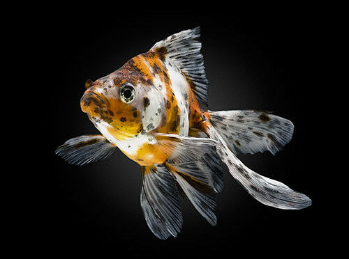 CALICO FANTAIL GOLDFISH **COLDWATER FISH ** 5CM ** | eBay