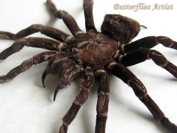 Giant Goliath Bird Eating Tarantula Pamphobeteus Antinous Real   Etsy image 0