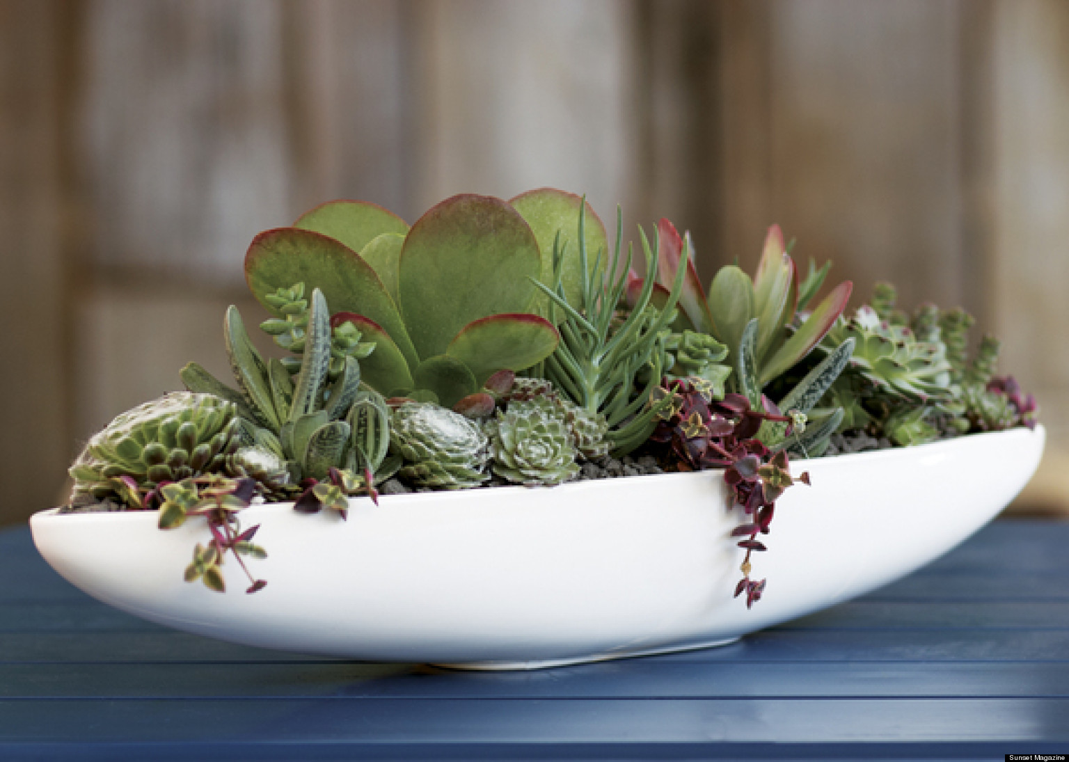 Succulent Plants India