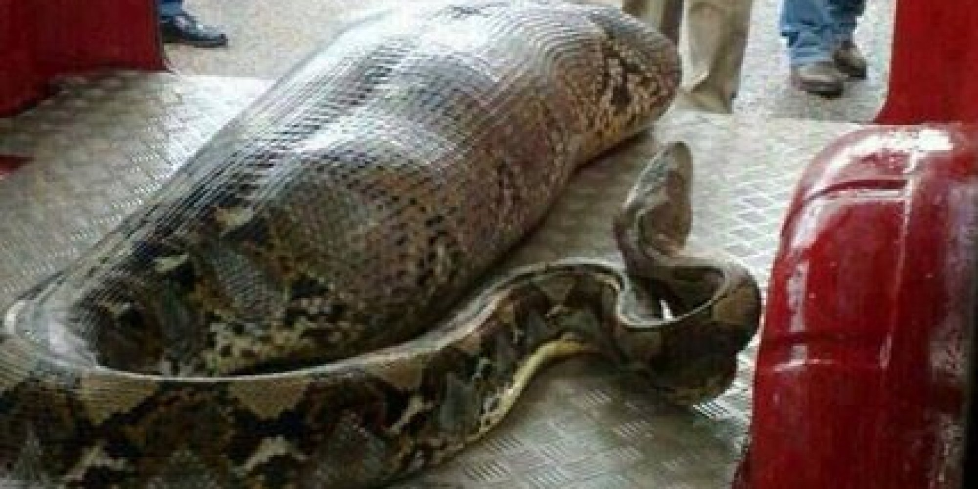 Did A Python Swallow A Drunk Man Whole In India? No, But ...