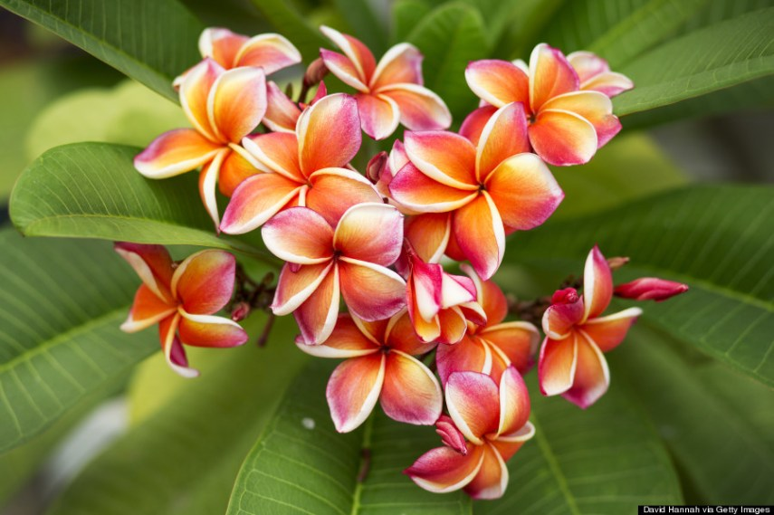 Hawaii s Flowers Are As Intricate And Alluring As Their Names   HuffPost plumeria