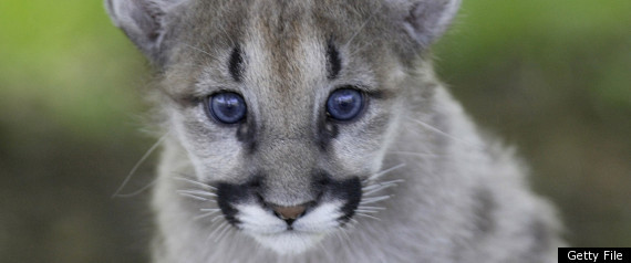 Eastern Cougar Extinct: Mountain Lion Declared Gone From ...