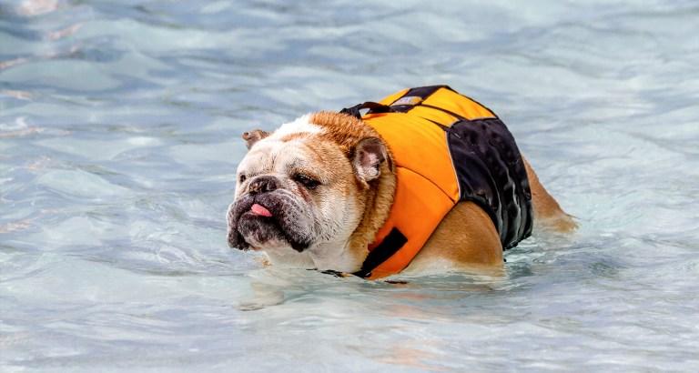Can English Bulldog Puppies Swim?