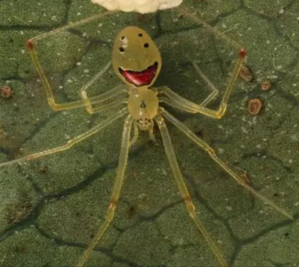 happy face spider  # 28