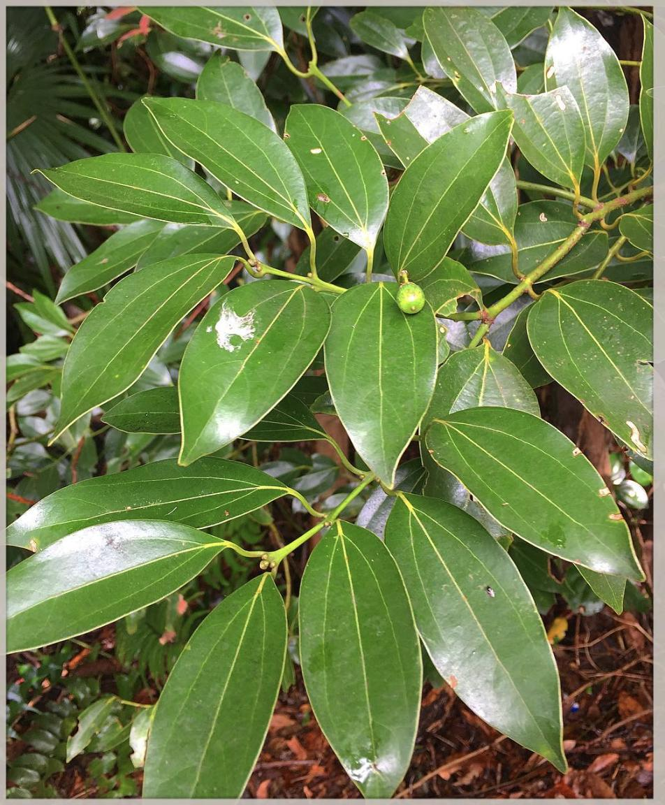 species identification - What kind of (cinnamon?) tree is ...