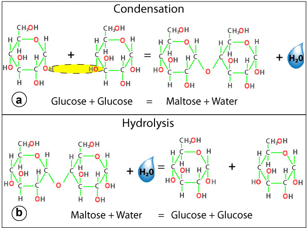 condensation of carbohydrates - 606×451
