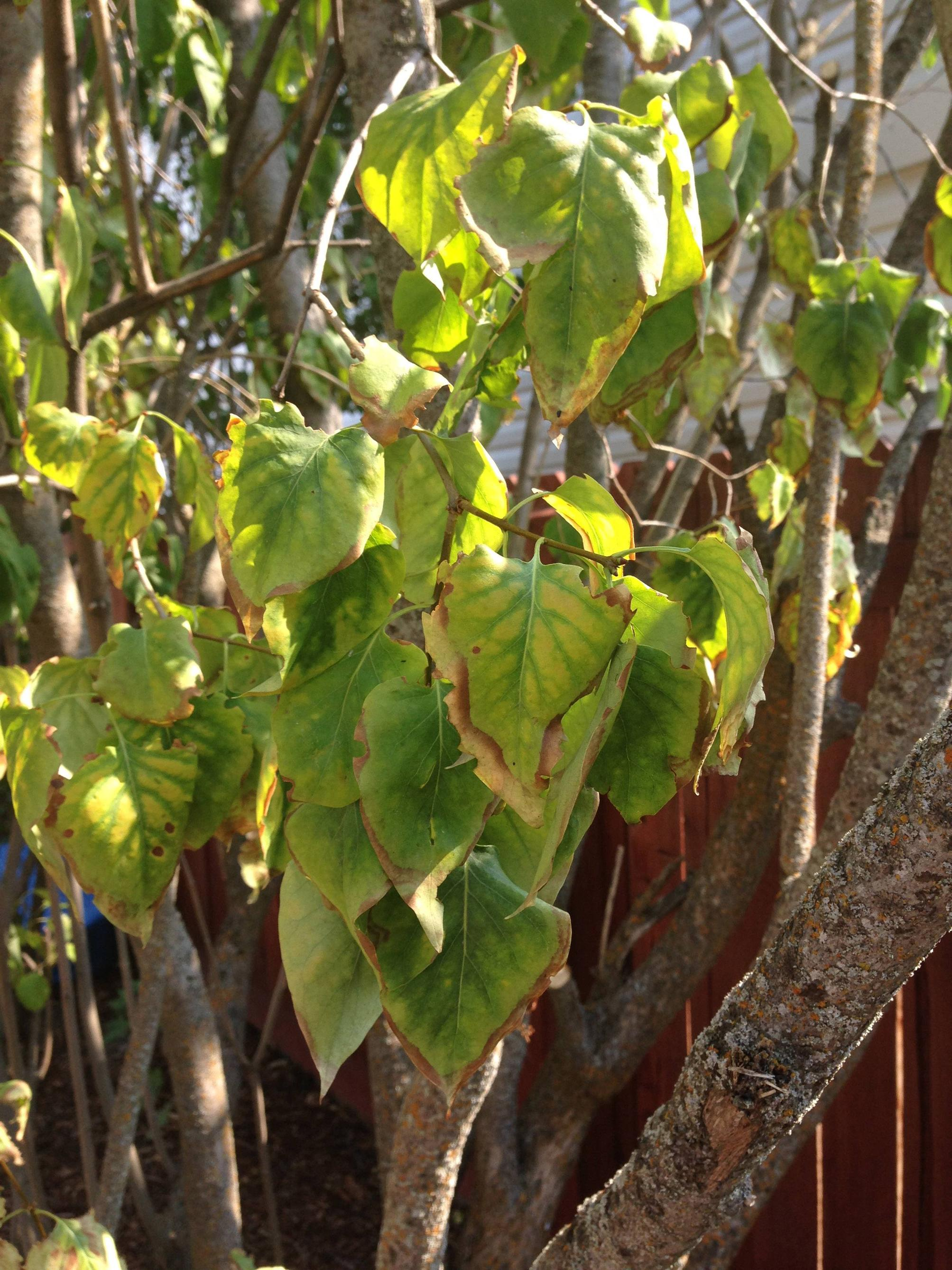 Lilac Care Diseases Leaf