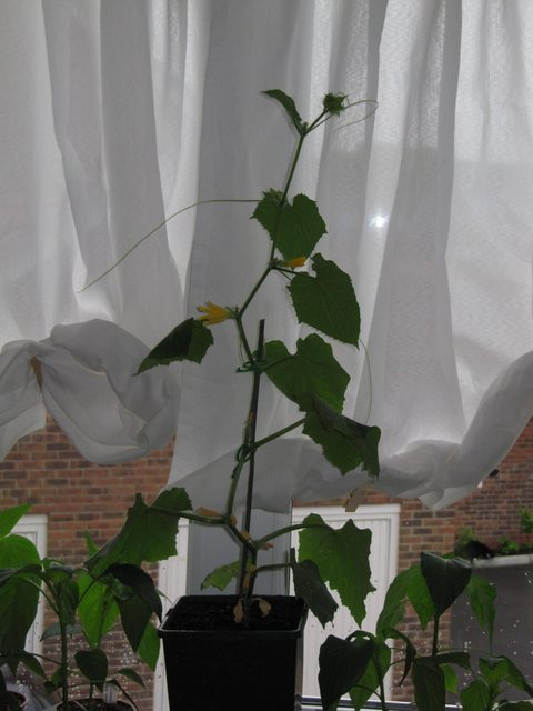 Wilt Cucumber Plants Wilting In Greenhouse But Fine