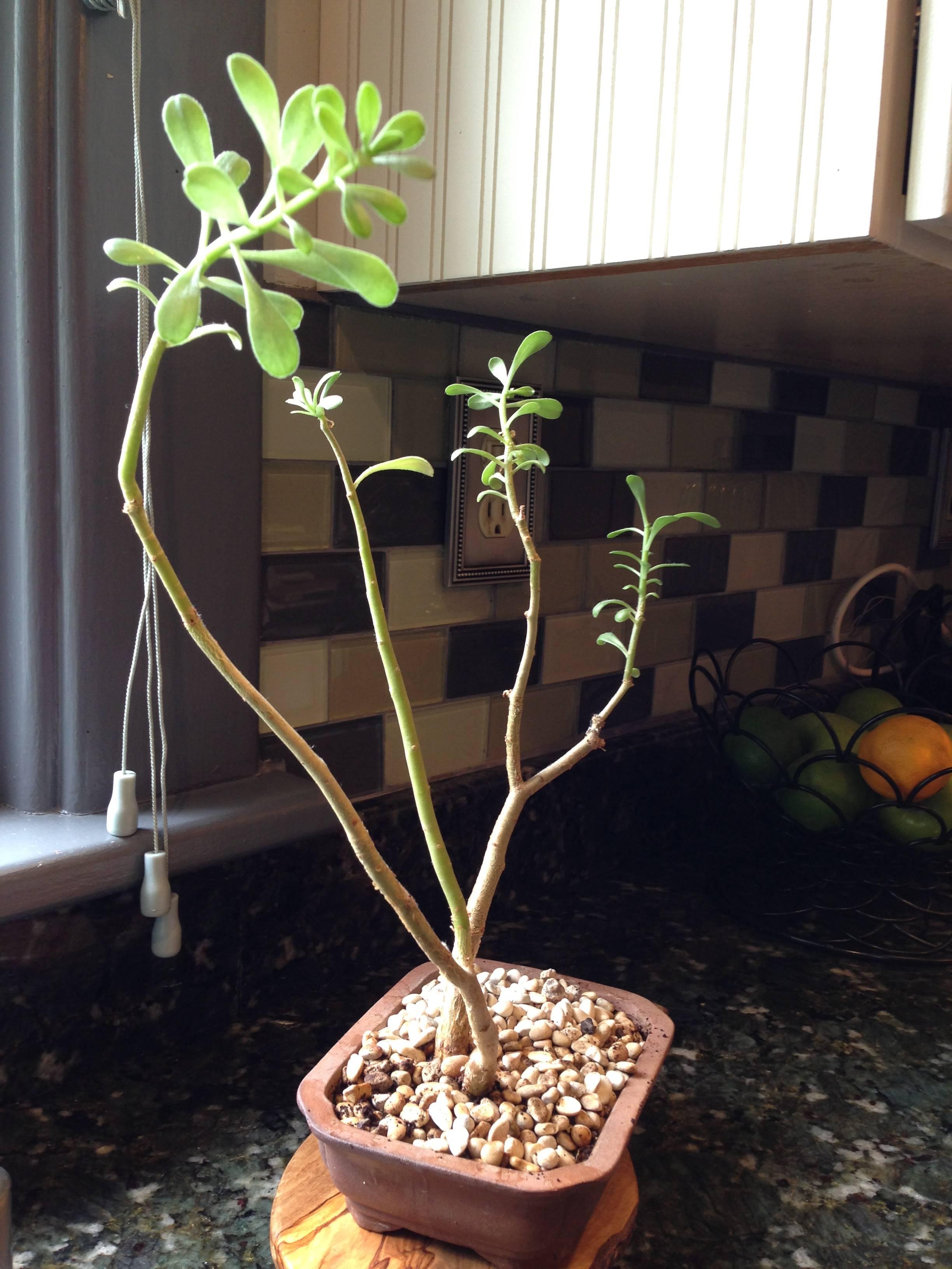 Bonsai Identification And Pruning Tips Gardening