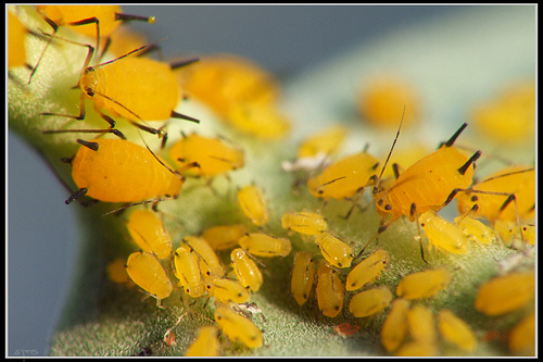 Black And Orange Aphids