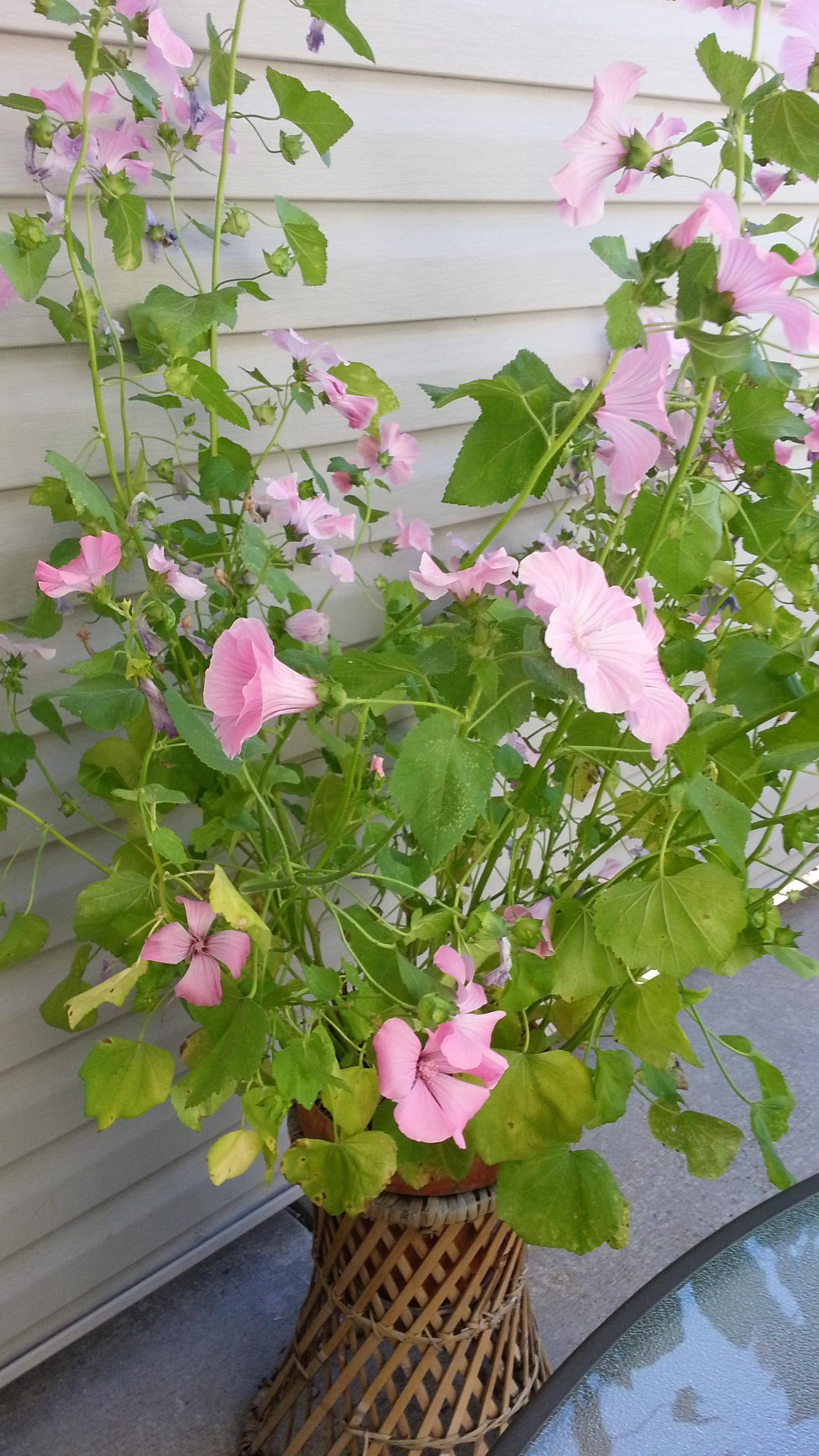 Best Kitchen Gallery: Identification Help Identifying This Pink Flowering Plant Native of Flowering Houseplants Identification on rachelxblog.com
