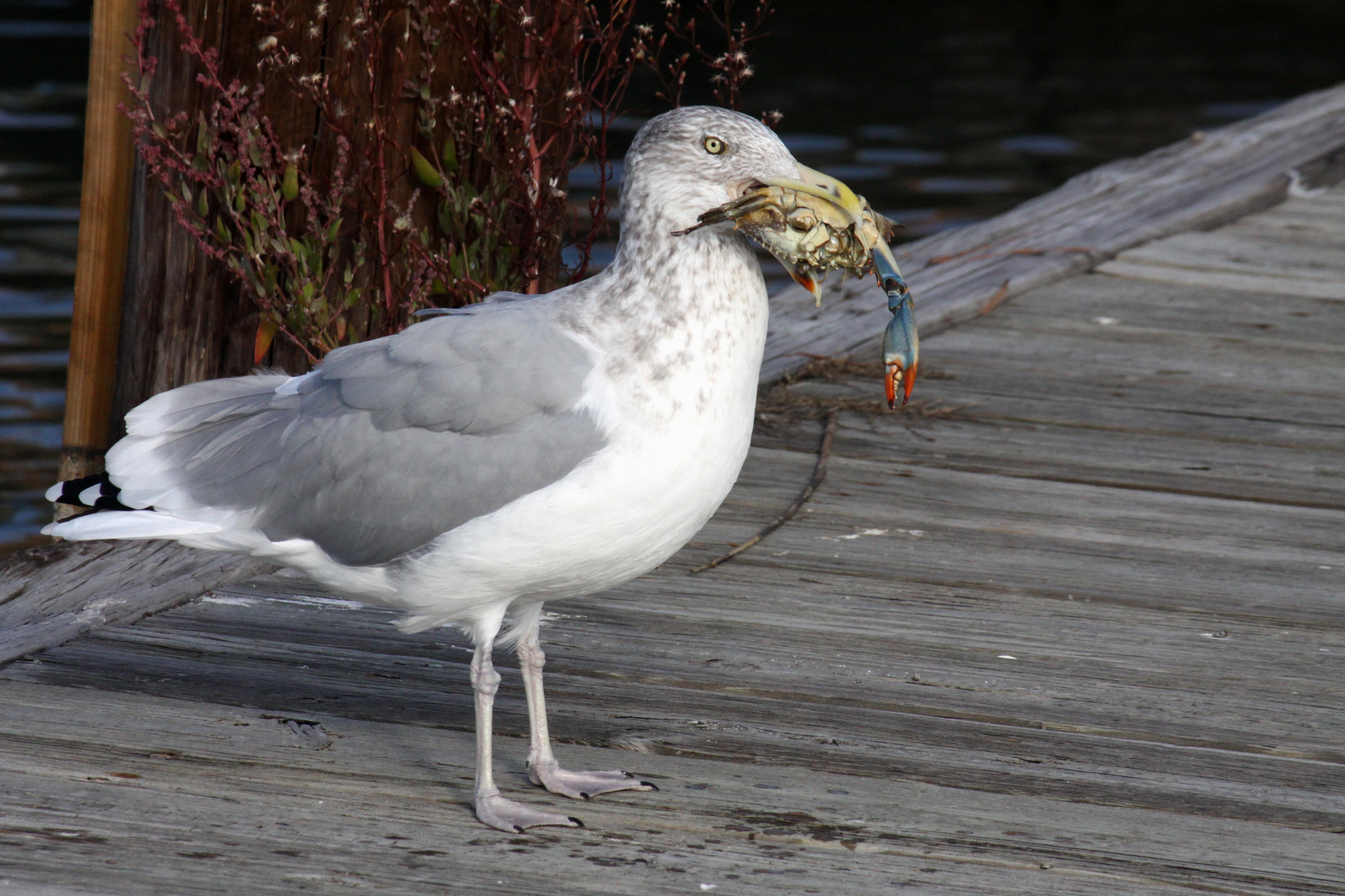 Getting Eaten Seagull Sea Stars