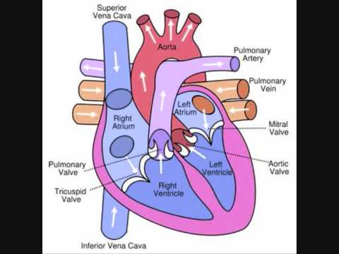 Heart & Circulation Revision Video - YouTube
