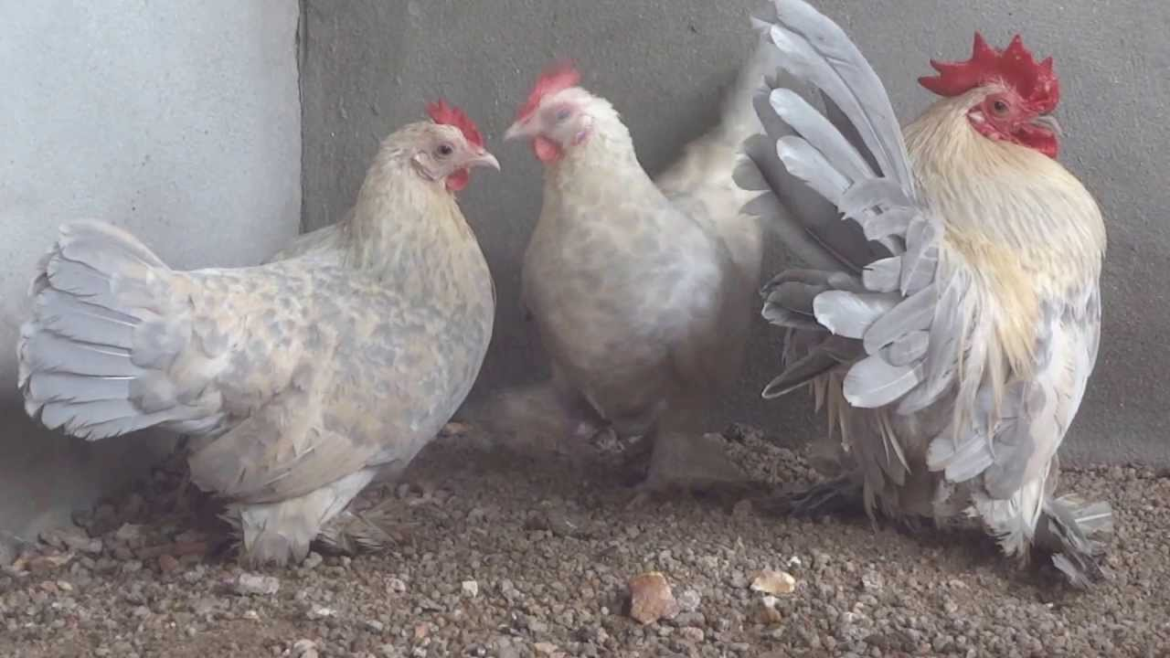 Ornamental Chicken - Porcelain Booted Bantam - YouTube