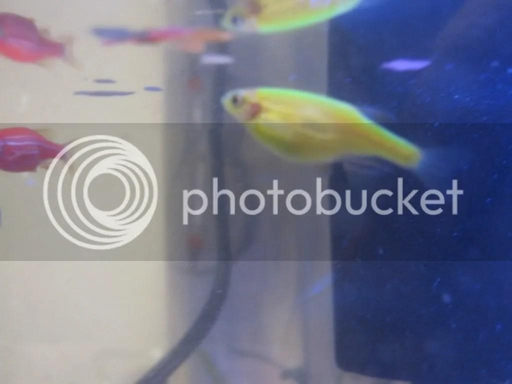 Pregnant GloFish?? - Aquarium Advice - Aquarium Forum ...