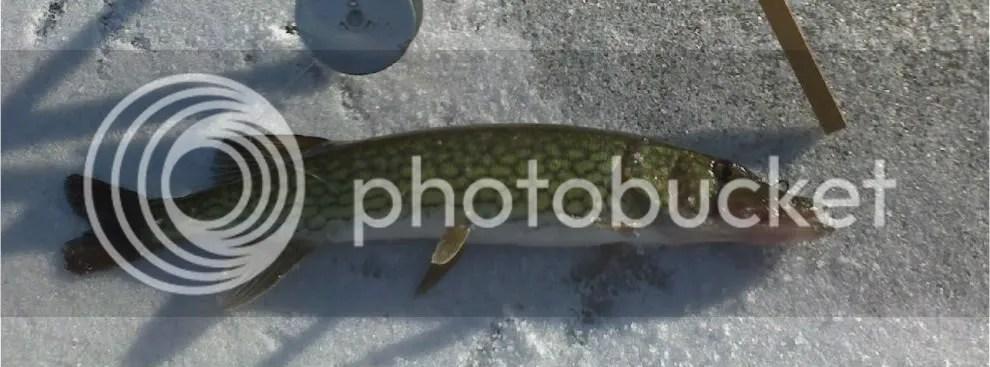 Is It A Walleye Or A Pickerel
