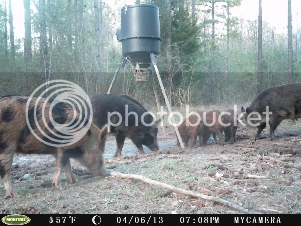 Nc Free Hog Hunting