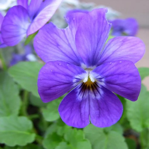 30 Small Blue Flower Pansy Seed Viola Tricolor Beautiful Garden     30 Small Blue Flower Pansy Seed Viola Tricolor Beautiful Garden Flowers A261