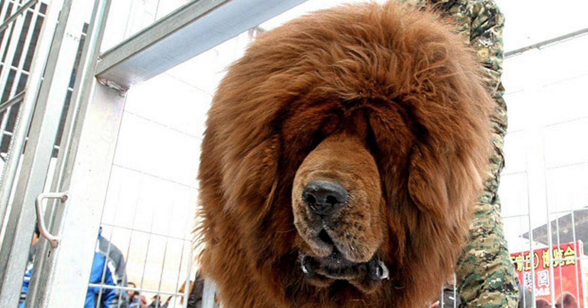 Red Tibetan Mastiff On Sale For 163 1 Million In China