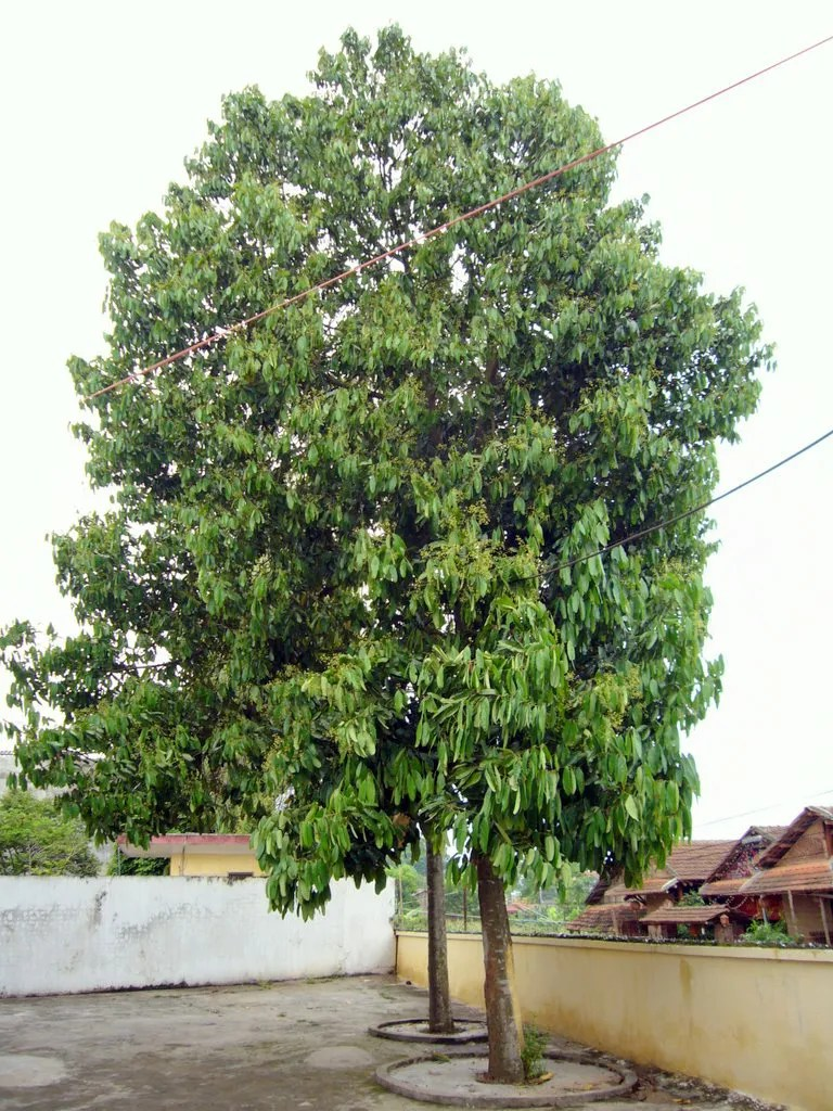 Cassia CINNAMON Tree Cinnamomum aromaticum LIVE SPICE TREE ...